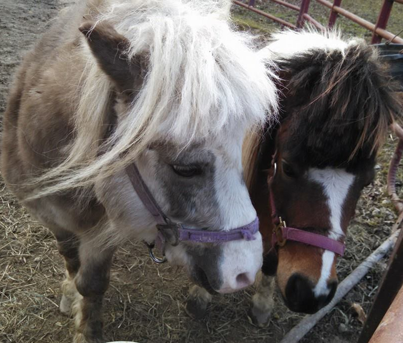 We love our beautiful miniature horses!